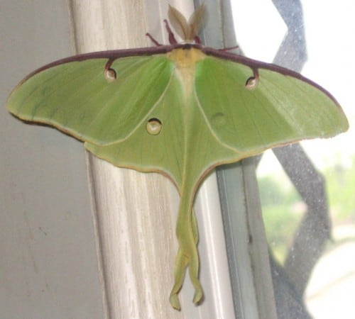 luna moth homeschool