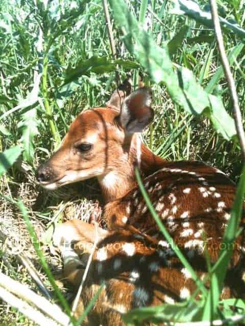 Baby White Tail Deer