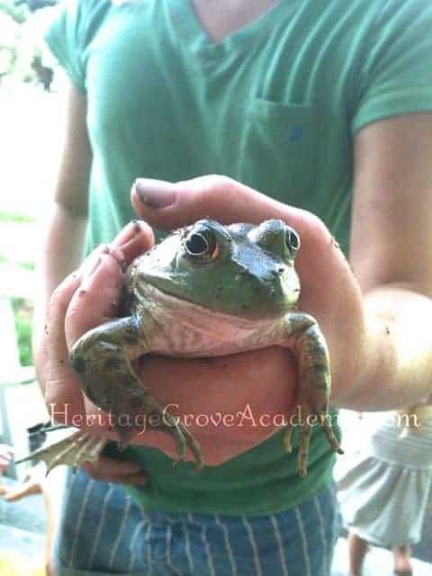 Big Green Bullfrog