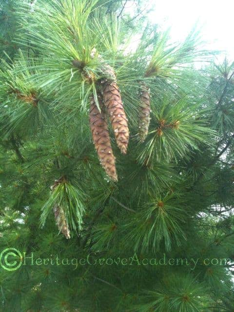 Dripping Sap on White Pine