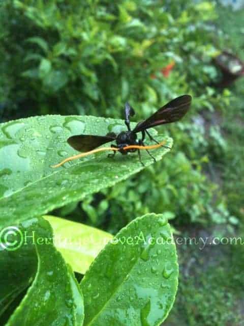 Giant Ichneumon - Male Black-Blue & Gold