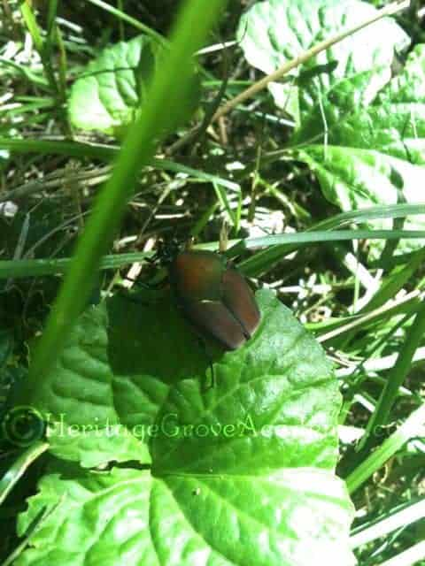 Green June Beetle, KY