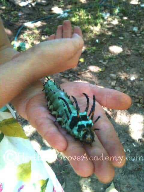 Hickory Horned Devil - Royal Walnut Moth