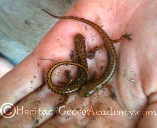 Little Orange & Black Salamanders