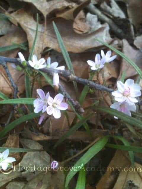 Lots of Pretty Spring Beauties