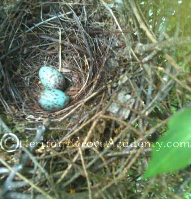 Mocking Bird Eggs