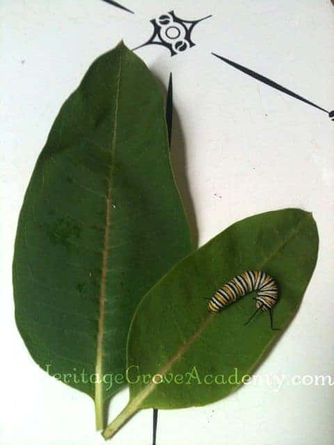 Monarch Caterpillar on Milkweed Leaves