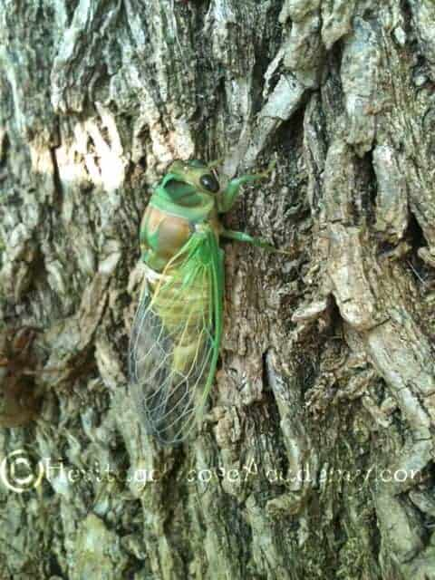 Newly Hatched Green Cicada