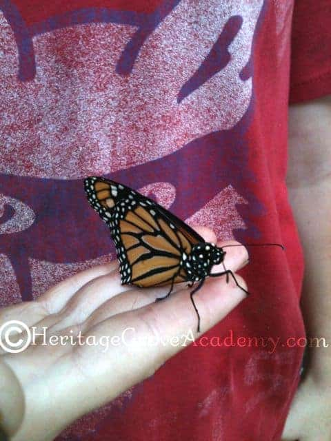 Newly Hatched Monarch Ready to Fly