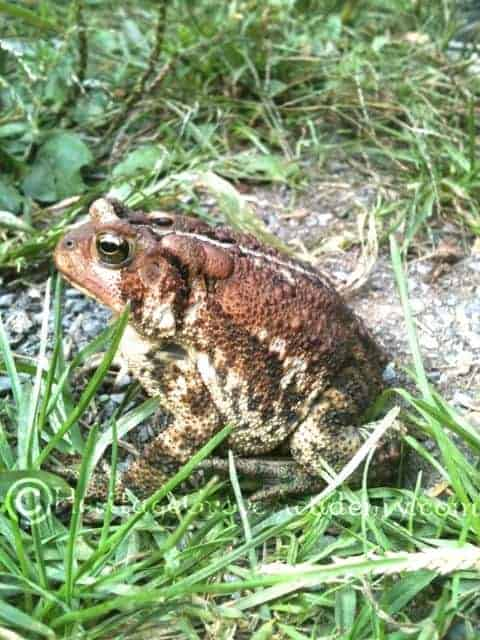 Noble Toad