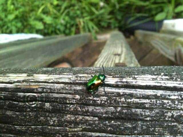 Rainbow Dogbane Beetle