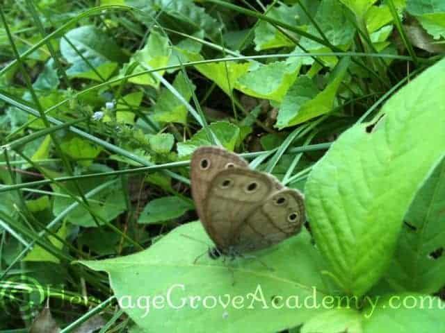 Violas Wood Satyr Butterfly